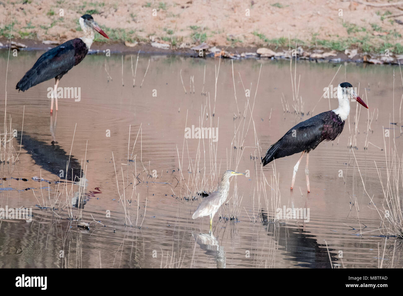 Two lesser adjutant storks, Leptopilos dubious, and an Indian pond heron, Ardeola grayii, in a pond, Bandhavgarh National Park, Madhya Pradesh, India - Stock Image