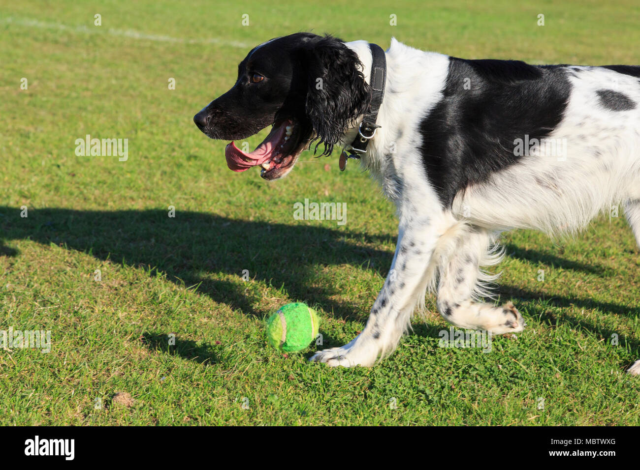 Black and White English Springer Spaniel (Canis lupus familiaris) dog dropping a ball from its mouth so it can be thrown outside in a park. England UK - Stock Image