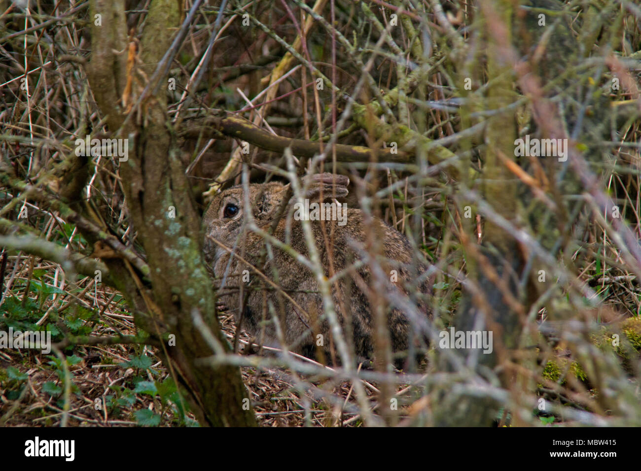 Rabbit with perfect camouflage hiding in the thicket Stock Photo