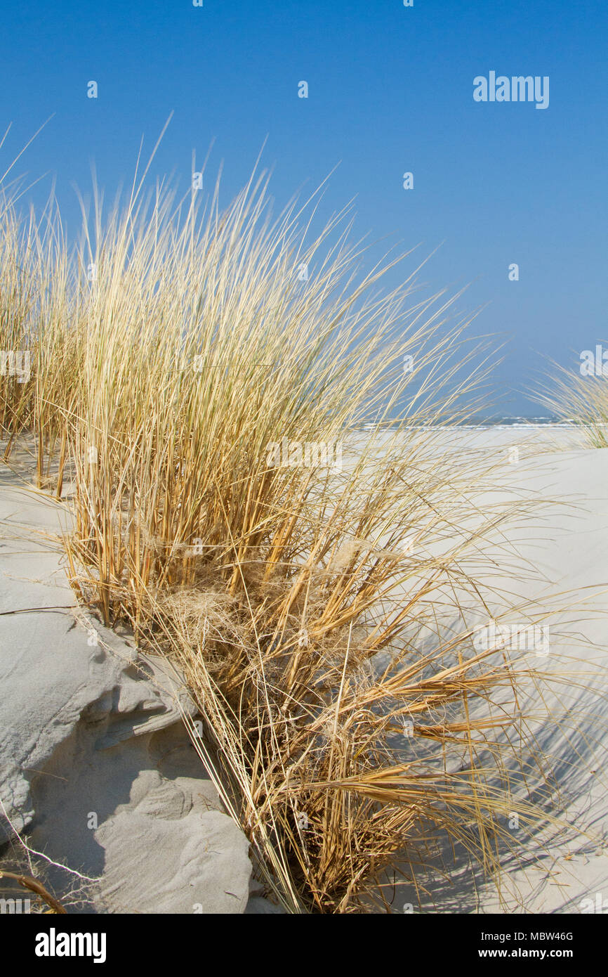 Underground stems or rhizomes of Marram grass stabilize shifting sand in the dunes - Stock Image