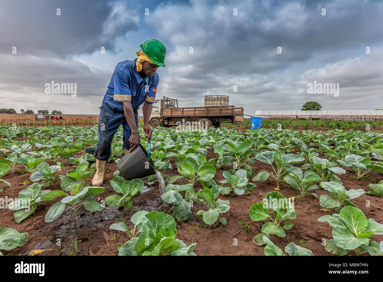 CABINDA/ANGOLA - 09 JUN 2010 - African farmer watering cabbage planting, Cabinda. Angola. - Stock Image