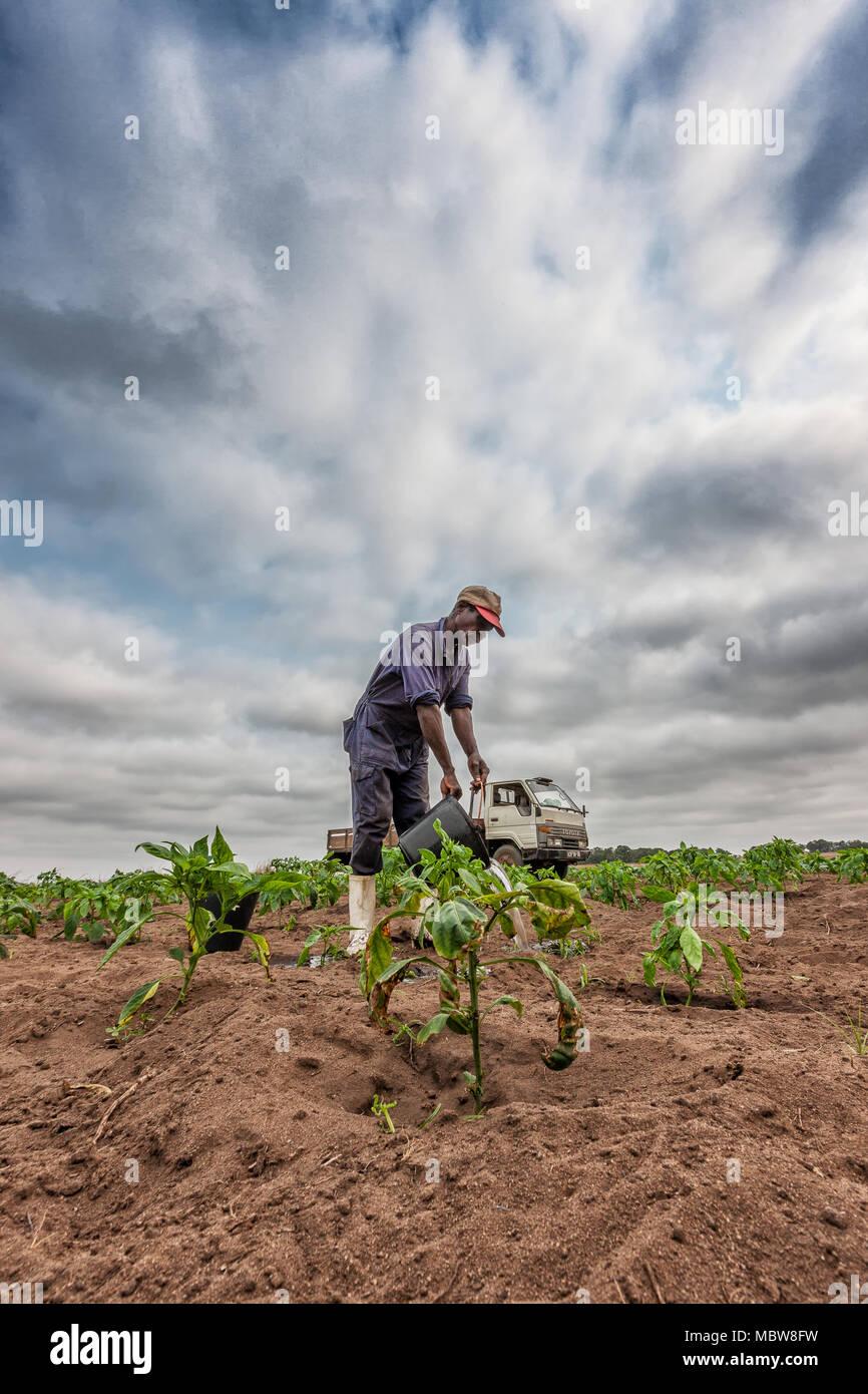 CABINDA/ANGOLA - 09 JUN 2010 - African farmer watering planting, Cabinda. Angola. - Stock Image