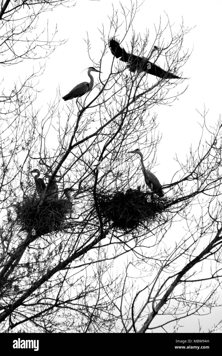 Family of herons in the nests on the tree - Stock Image