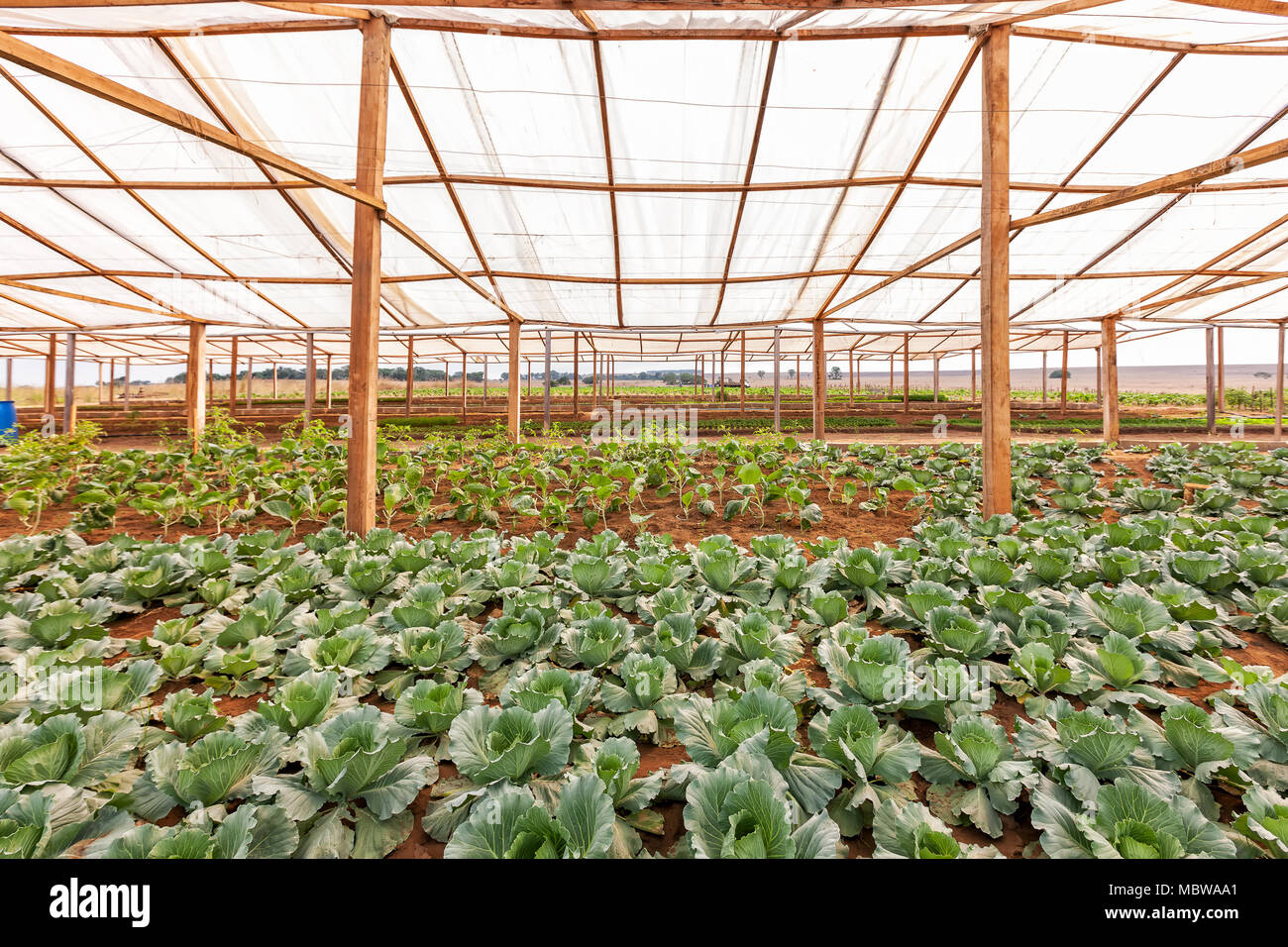 Inside view greenhouse. Angola. Cabinda. - Stock Image