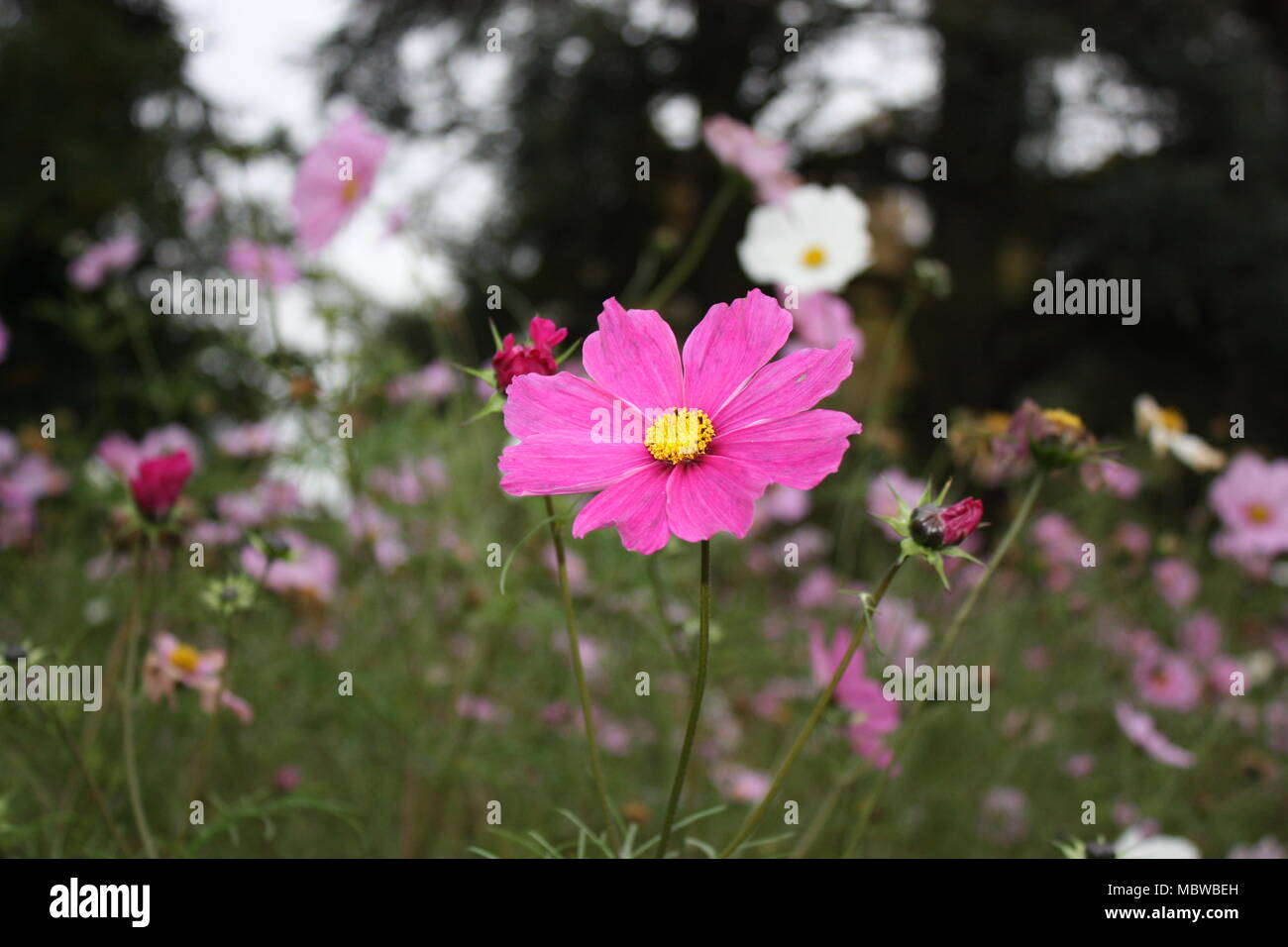close up of cosmos pl - Stock Image