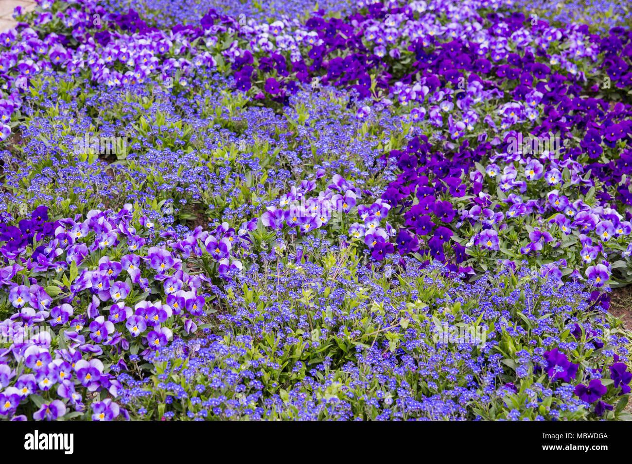 Many Violet viola summer flower in a park - Stock Image