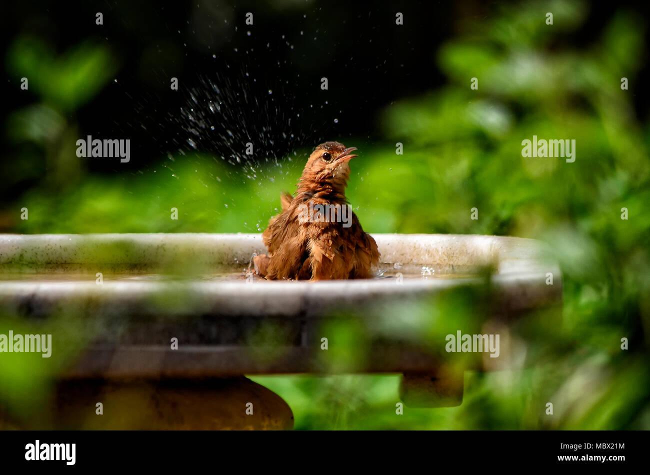 Bird having a bath - Stock Image