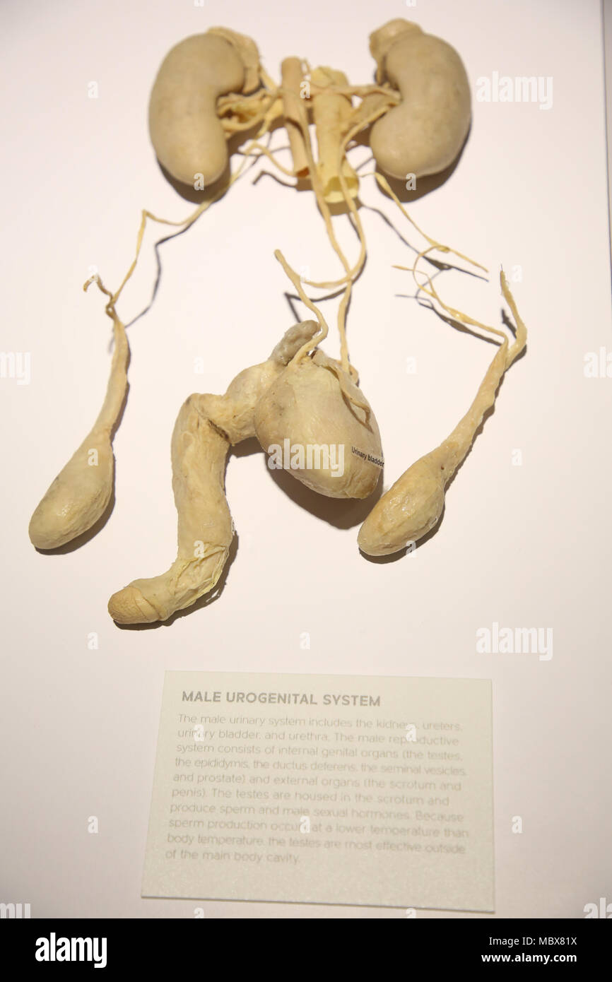 """Sydney, Australia. 12 April 2018. Pictured: Male urogenital system. What are we made of? Where do we come from? Why are we here? This exhibition explores the human body through physiology, culture and emotion. Real Bodies The Exhibition consists of 11 galleries with subject matter such as """"Breathe"""" exploring the respiratory system, """"Rhythm"""" revealing the delicate interconnectedness of the circulatory system, """"Love"""" presenting the science of physical attraction, and more.  The exhibition pushes boundaries while seamlessly blending art, science, and emotion as a museum of the self. Credit: Richa - Stock Image"""