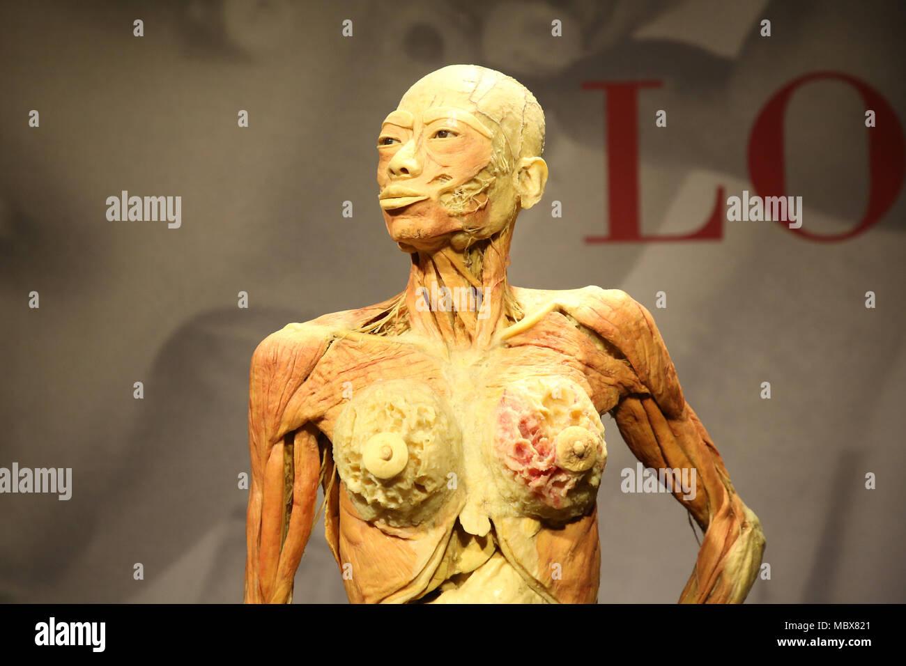 Female Circulatory System Stock Photos & Female Circulatory System ...