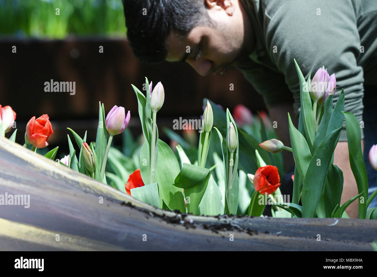 Tulips: transplant and preparation for the next season