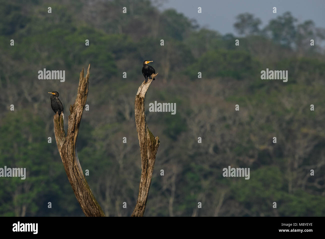 A Cormorant nest with chicks on a tree stump in the Periyar National Park Lake in Thekkady, Kerala, India , Oriental darter Stock Photo
