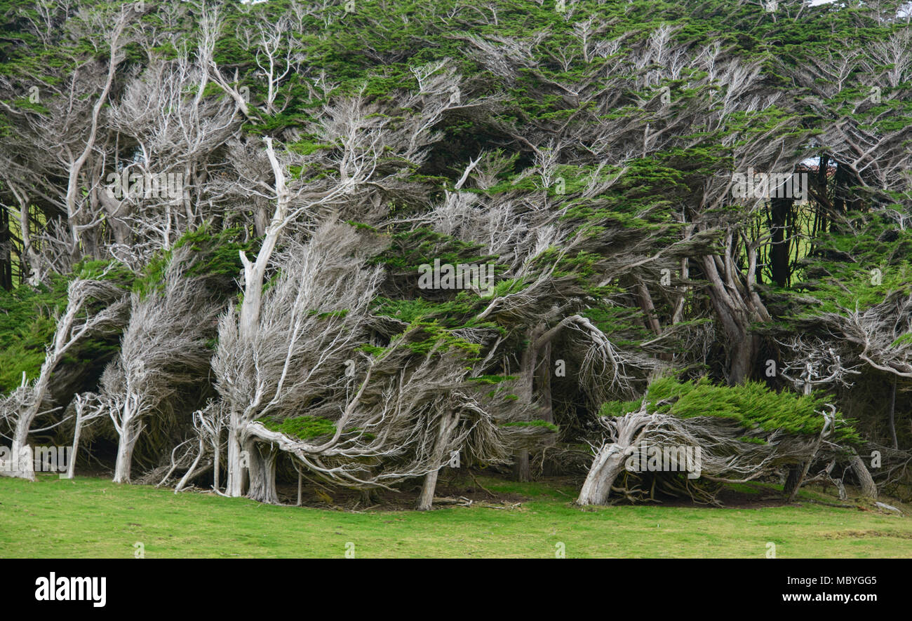 Trees battered by Antarctic winds in the Roaring Forties, Slope Point, Catlins, New Zealand - Stock Image
