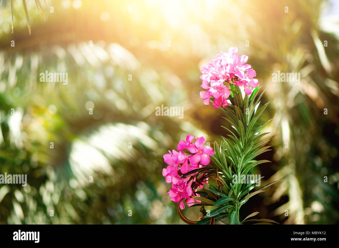 Blooming pink oleander flowers or nerium in garden selective focus blooming pink oleander flowers or nerium in garden selective focus copy space blossom spring exotic summer sunny woman day concept stock photo mightylinksfo Gallery