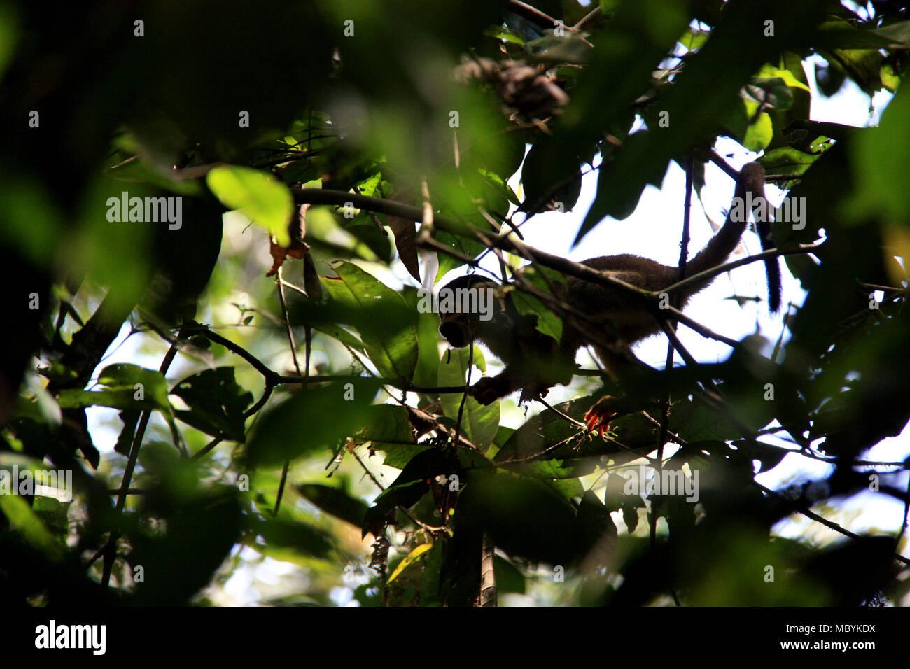 Squirrel Monkey in the Amazon Rainforest, Tambopata National Reserve, Puerto Maldonado, Peru - Stock Image