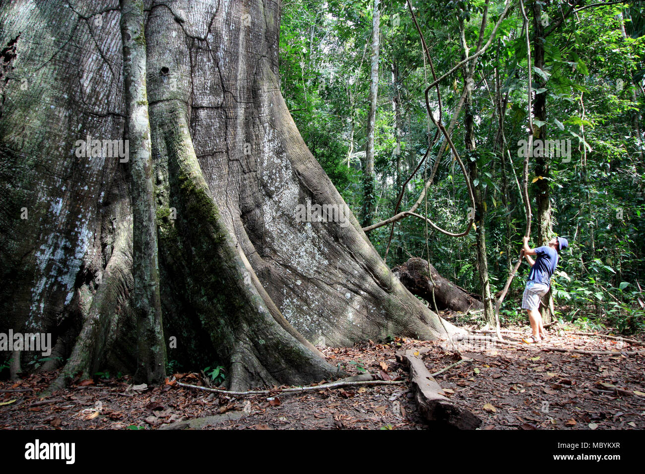 An Tourist exploring a huge Kapok Tree in the Amazon Rainforest, inside Tambopata National Reserve in the Amazon Basin, Peru - Stock Image