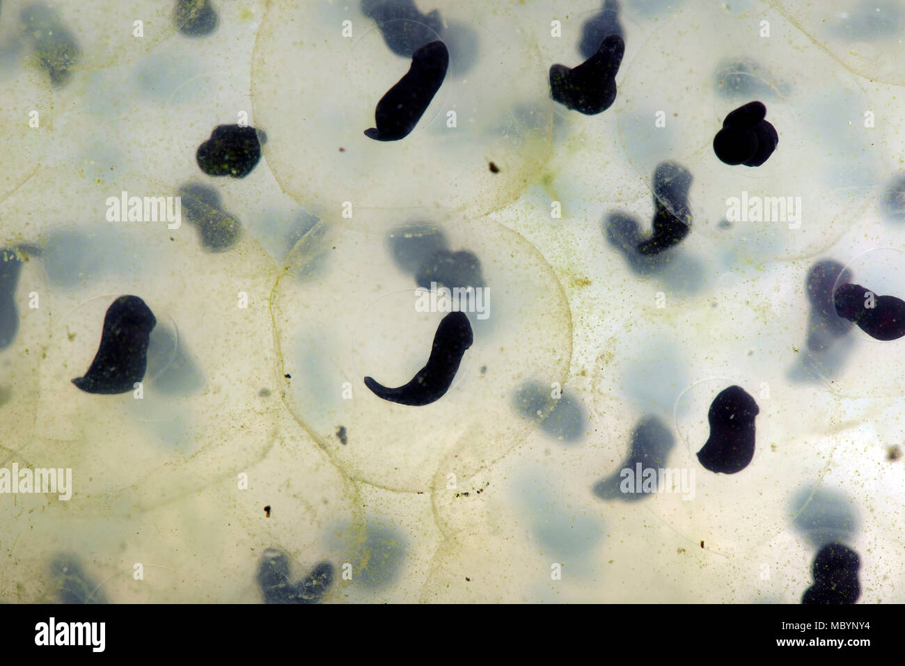 European common frog, Rana temporaria, frogspawn with developing tadpoles shaped like a 'comma', April - Stock Image
