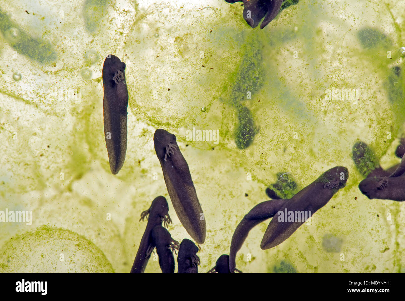 European common frog, Rana temporaria, frogspawn with hatched and hatching tadpoles, April - Stock Image