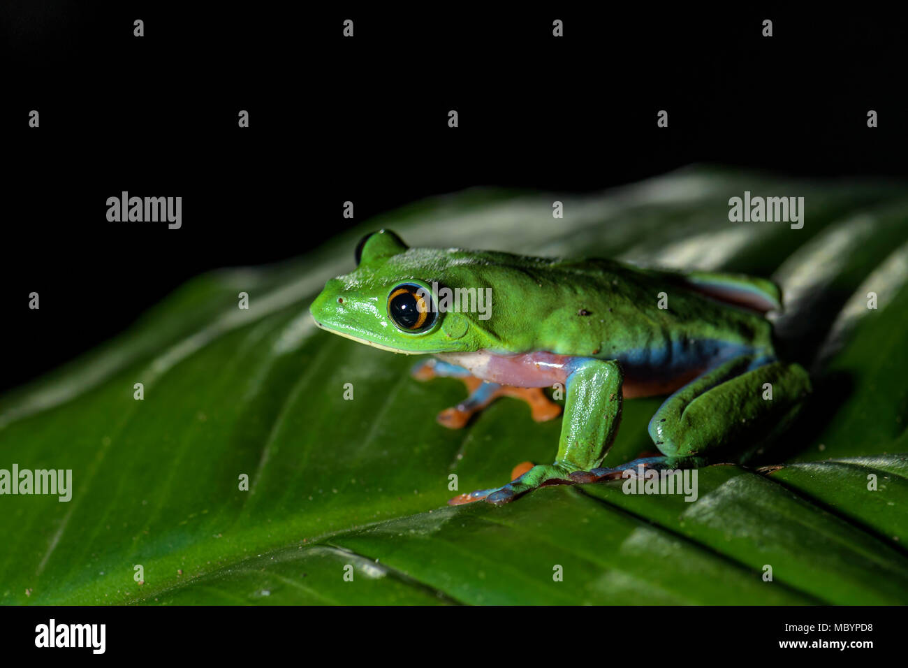 Blue-sided Tree-frog - Agalychnis annae, night picture of beautiful colorful endangered from from Central America forests, Costa Rica. - Stock Image