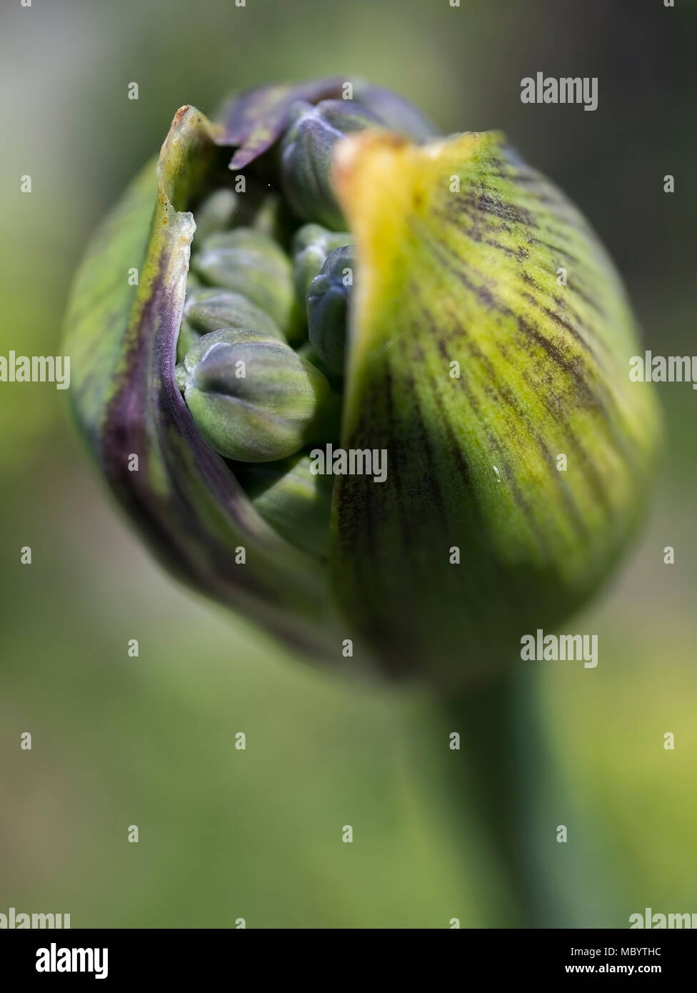 AGAPANTHUS - THE FLOWER OF LOVE Stock Photo