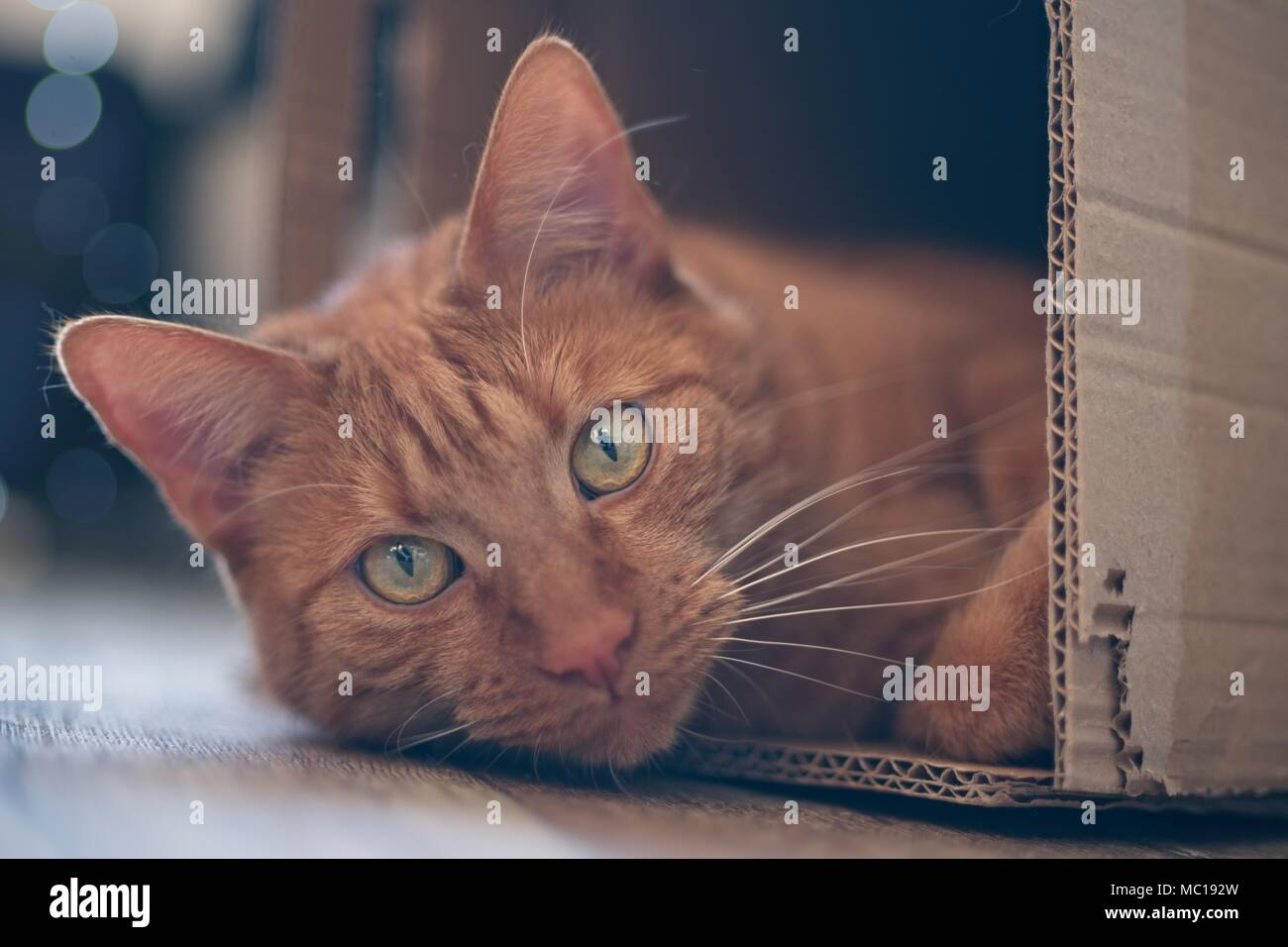 Ginger cat lying in a cardboard box and look to the camera. - Stock Image