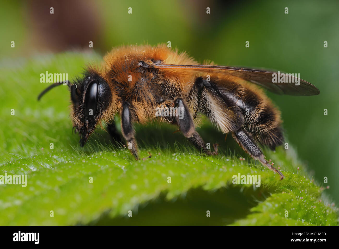 Chocolate mining bee female (Andrena scotica) perched on bramble leaf. Tipperary, Ireland - Stock Image