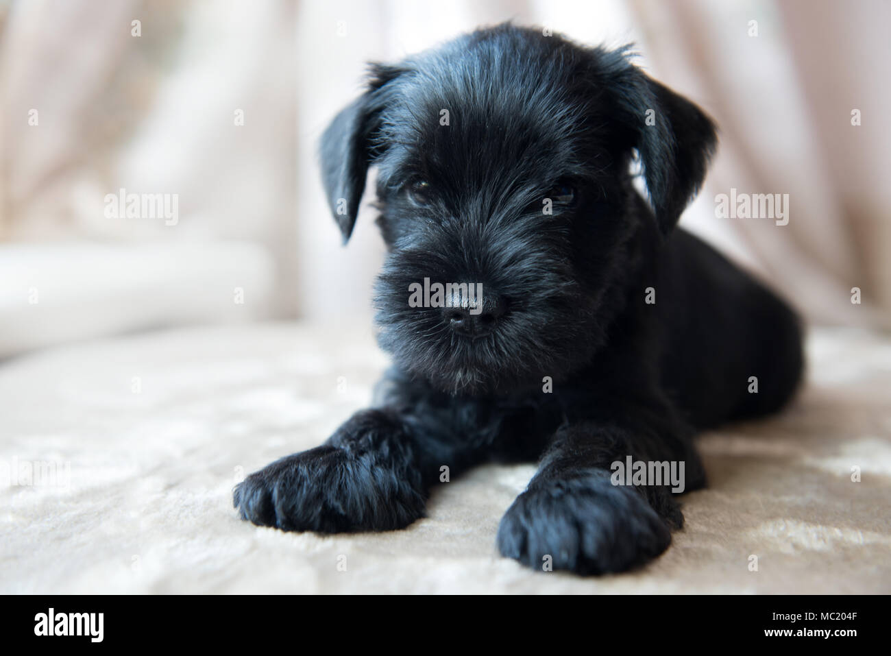 Miniature Schnauzer Puppy High Resolution Stock Photography And Images Alamy