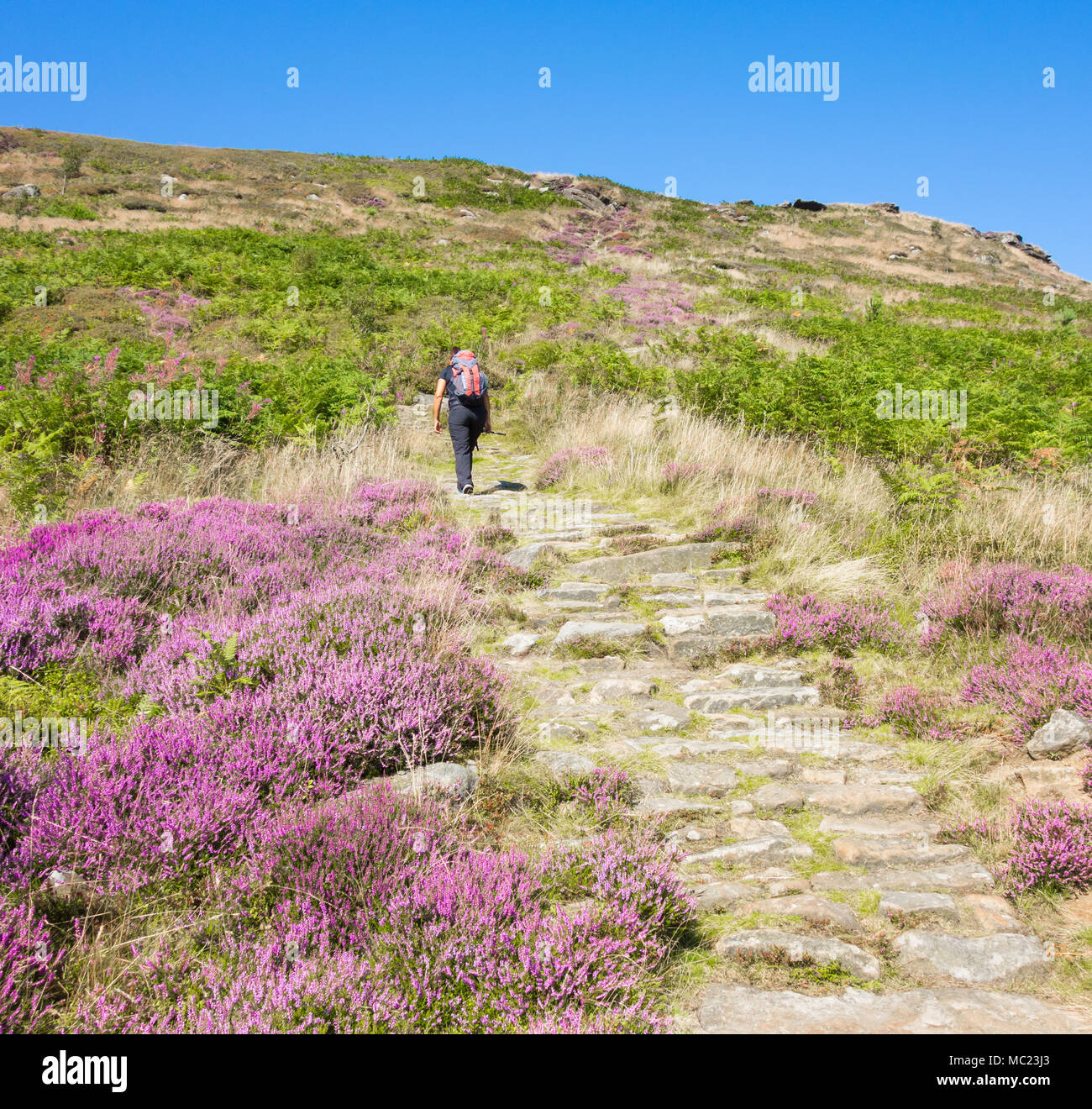 Female hiker walking up Hasty Bank on The Cleveland Way National Trail. North York Moors National Park. North Yorkshire. England. UK - Stock Image