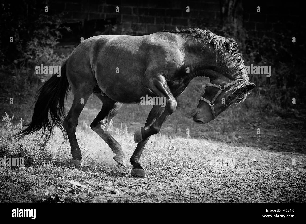 Angry Stallion side view Stock Photo