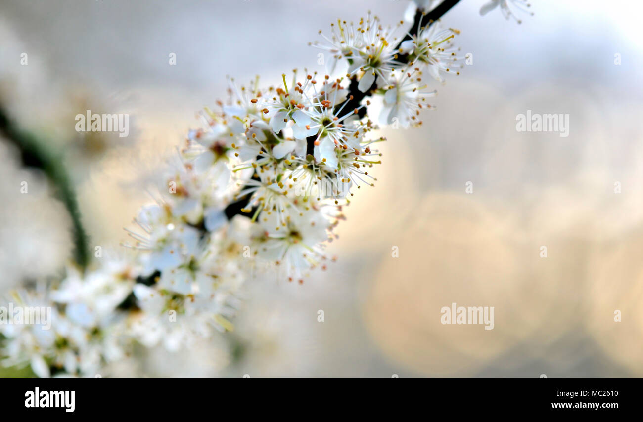 Closeup On Pistils And White Flowers Of Fruit Tree On Blur Lights