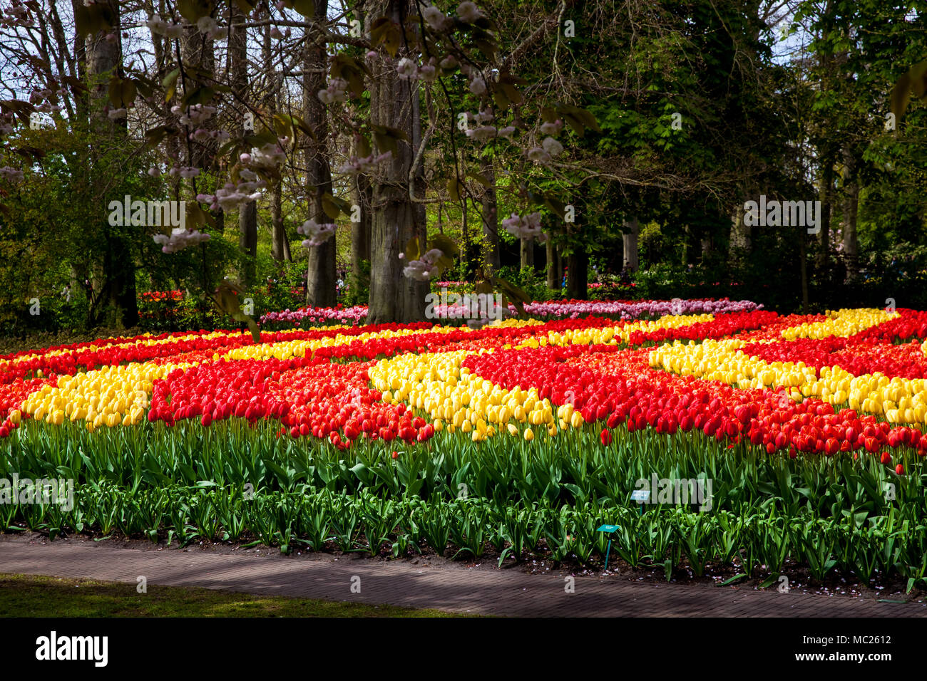 Colorful tulips in Keukenhof park in Amsterdam area, Netherlands - Stock Image