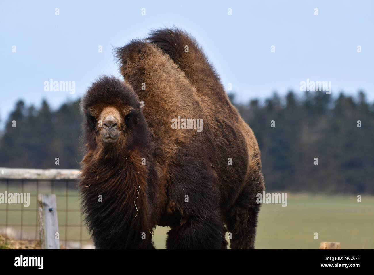 Close up portrait of bactrian camel, isolated, strong male very typical. - Stock Image