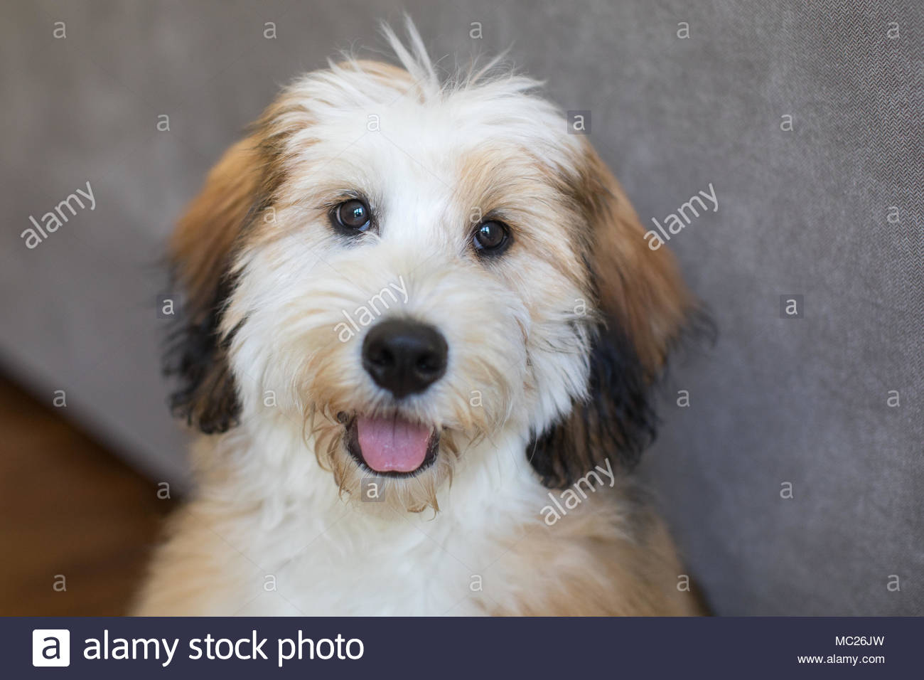 Close-up of happy smiling Bernedoodle puppy with tongue out - Stock Image