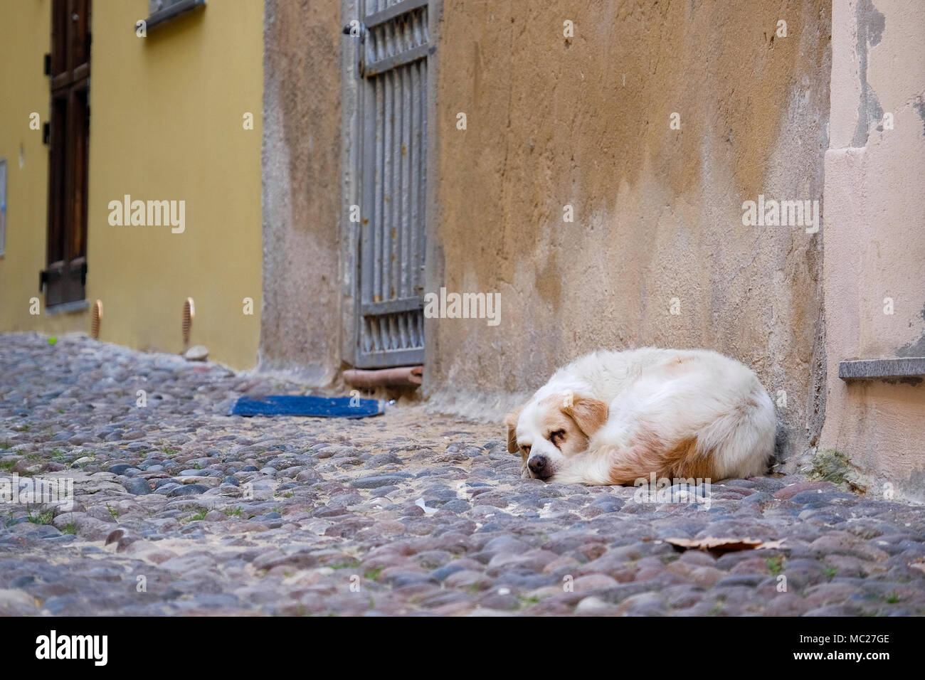 stray dog is sleeping on the street of cobblestones - Stock Image