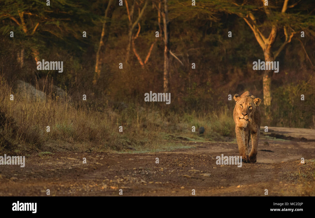 Lion walking on the road in the morning - Stock Image