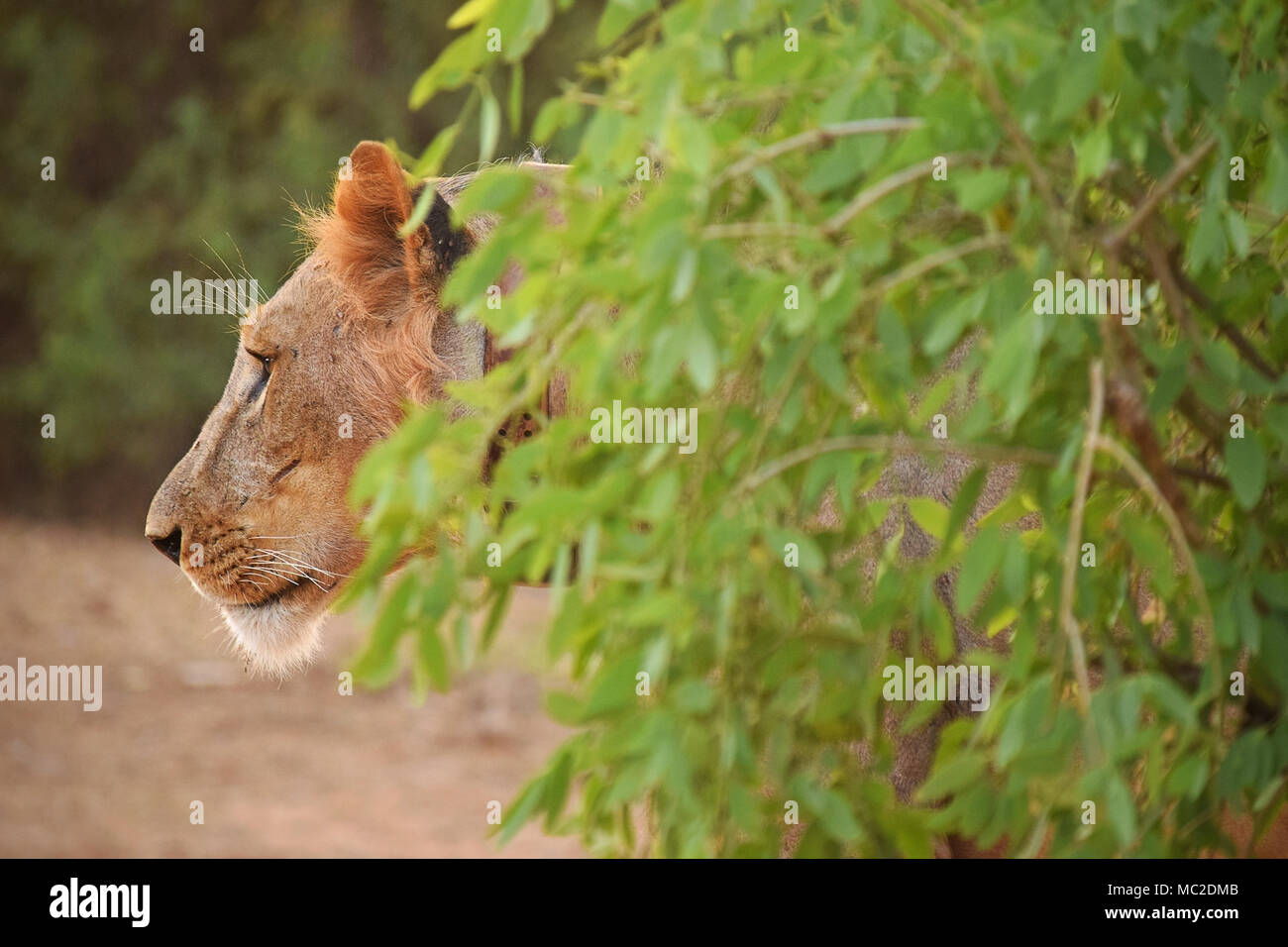 Lion walking out of the bush - Stock Image