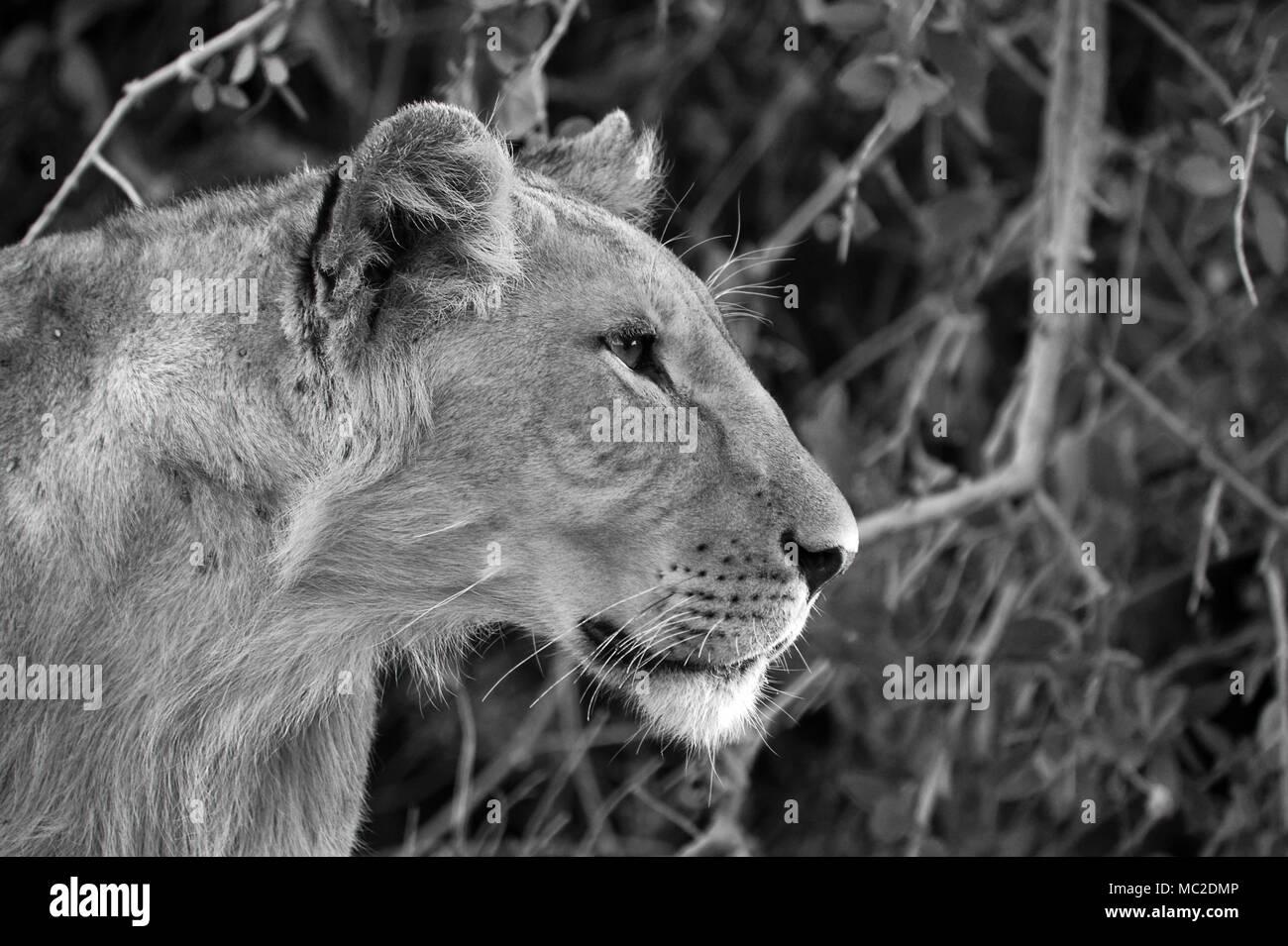black and white lion portrait stock photos black and white lion