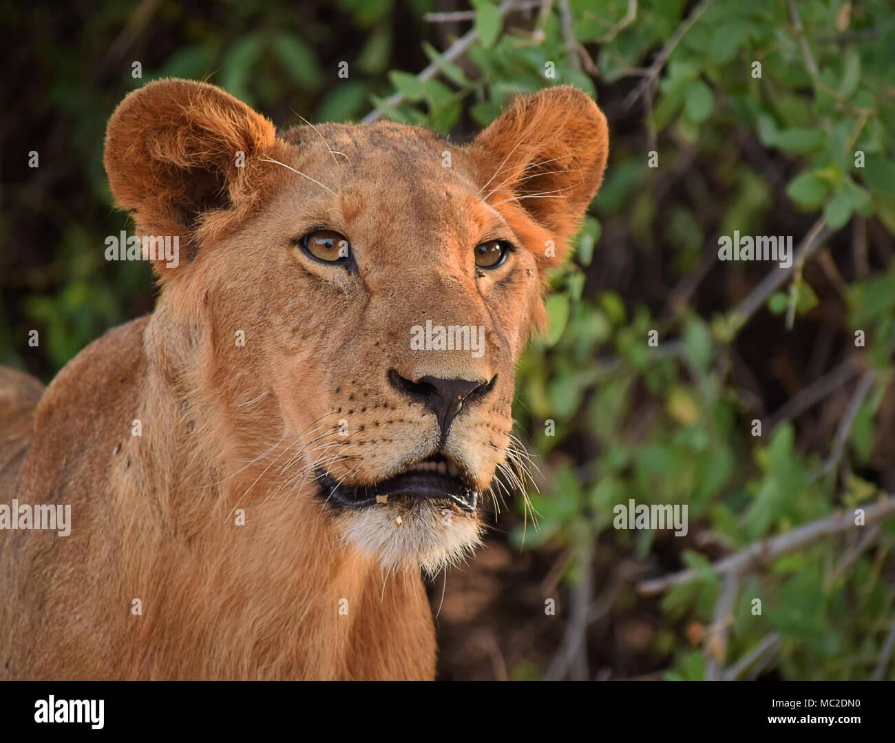 Young lion portrait - Stock Image
