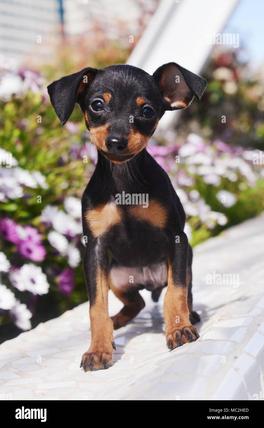 Prague Ratter Puppy - Stock Image