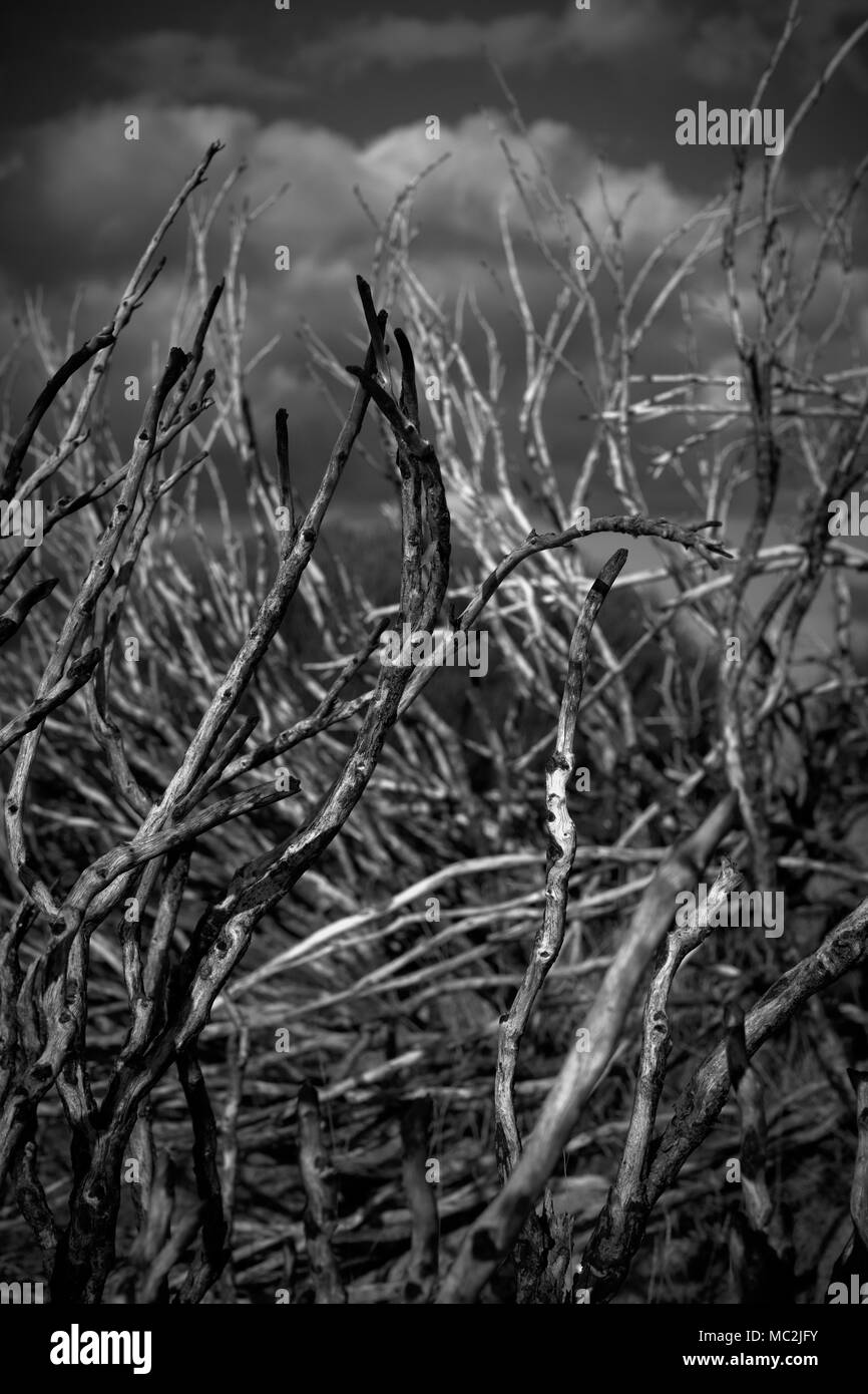 Dry bare plant stems and branches in black and white - Stock Image