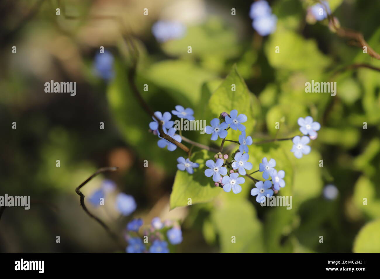Forget Me Not Has Tiny Blue Flowers Stock Photo 179540021 Alamy