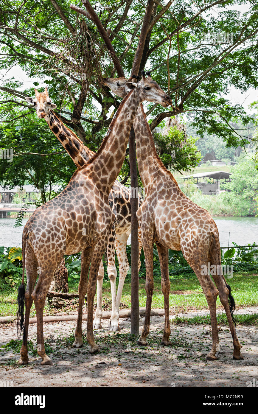 The giraffe (Giraffa camelopardalis) is an African even toed ungulate mammal, the tallest of all extant land living animal species, and the largest ru - Stock Image