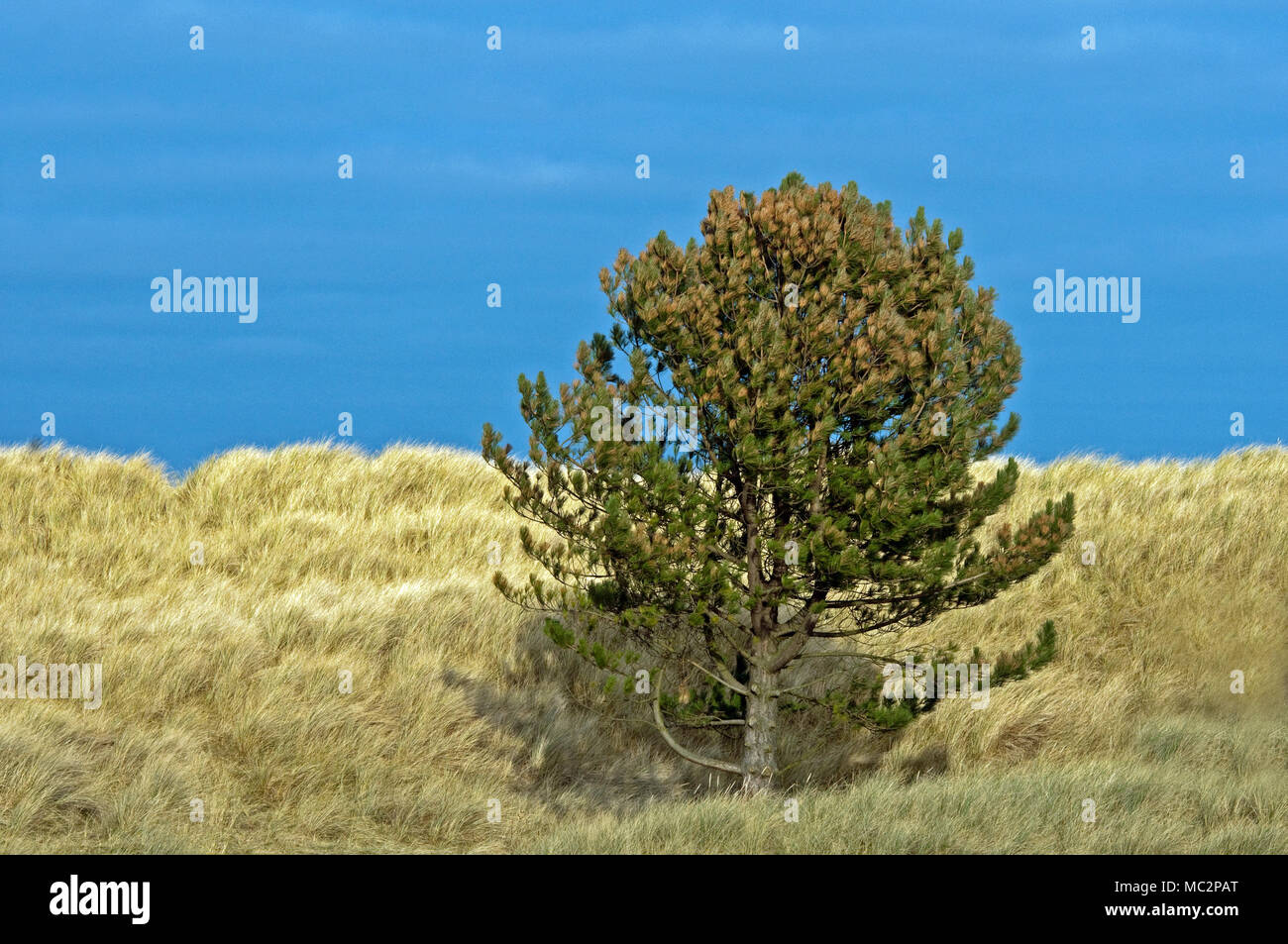 Corsican Pine in the sand dues just south of Bamburgh Castle, Northumberland Coast - Stock Image