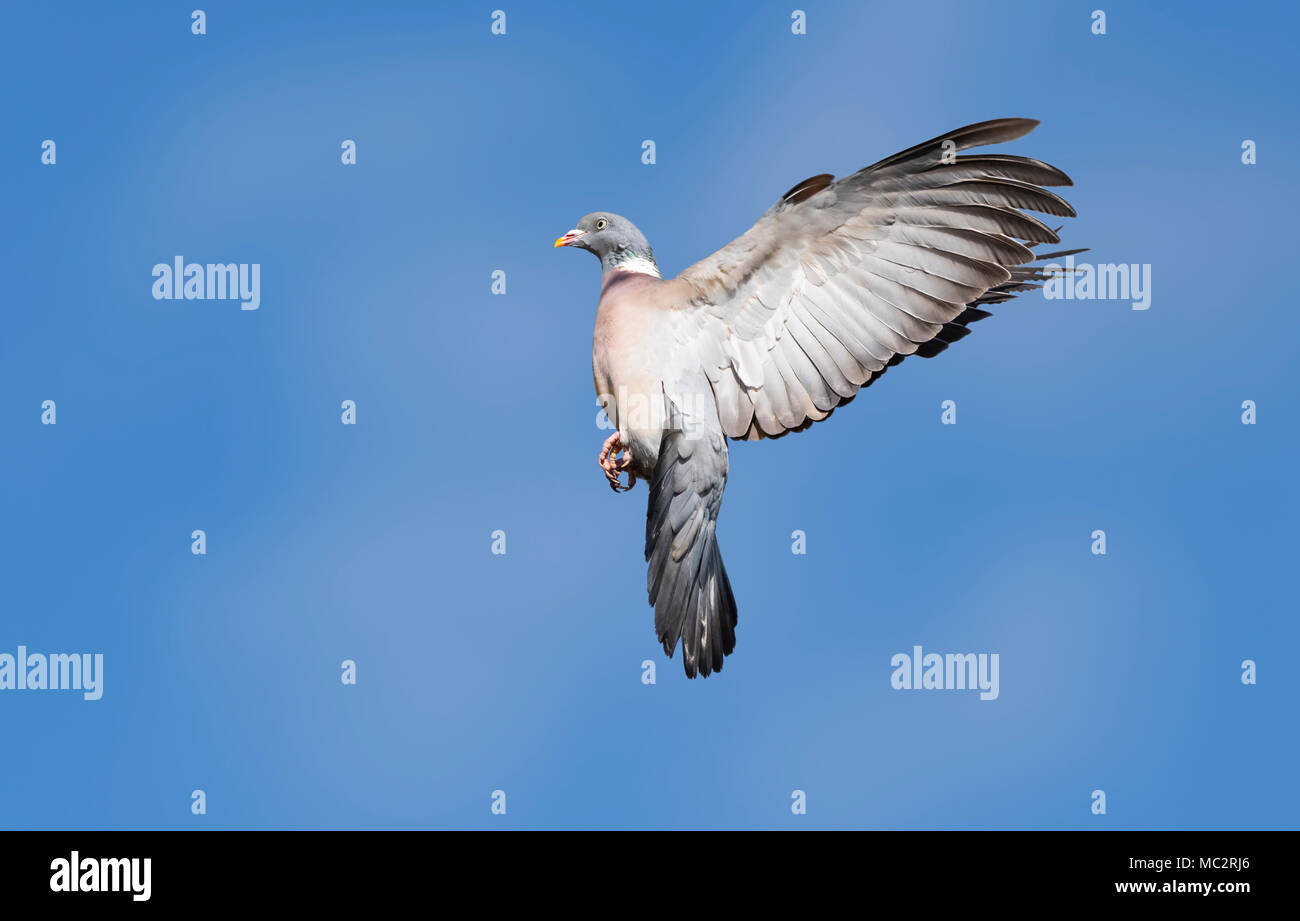 Common Wood Pigeon (Columba palumbus) in flight against blue sky with wings stretched back, in the UK. Pigeon flying in Spring with copyspace. - Stock Image