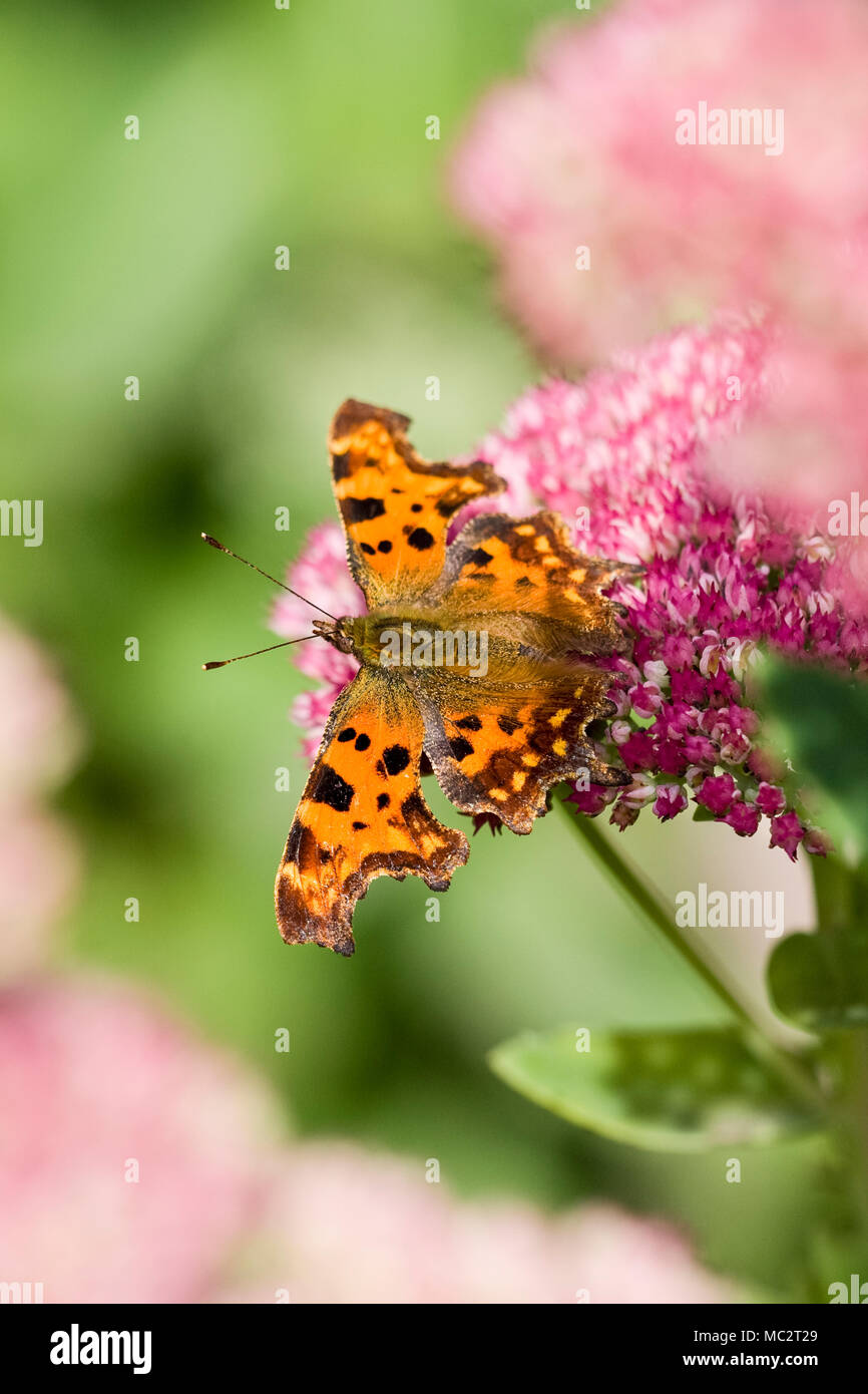 Comma Butterfly feeding on Sedum - Polygonum c-album - Stock Image
