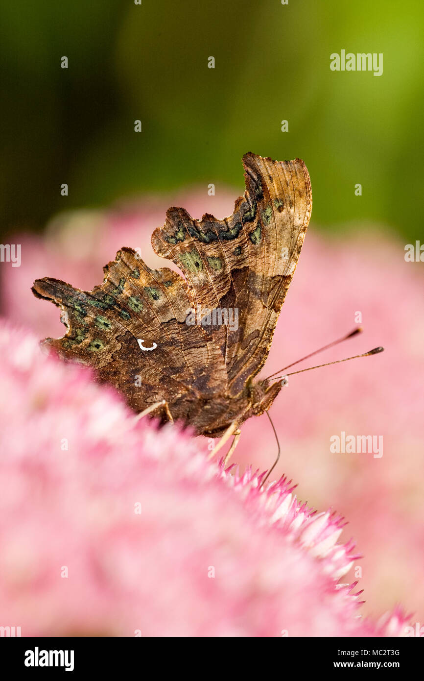 Comma Butterfly feeding on Sedum showing comma mark on underside of wing - Polygonum c-album - Stock Image