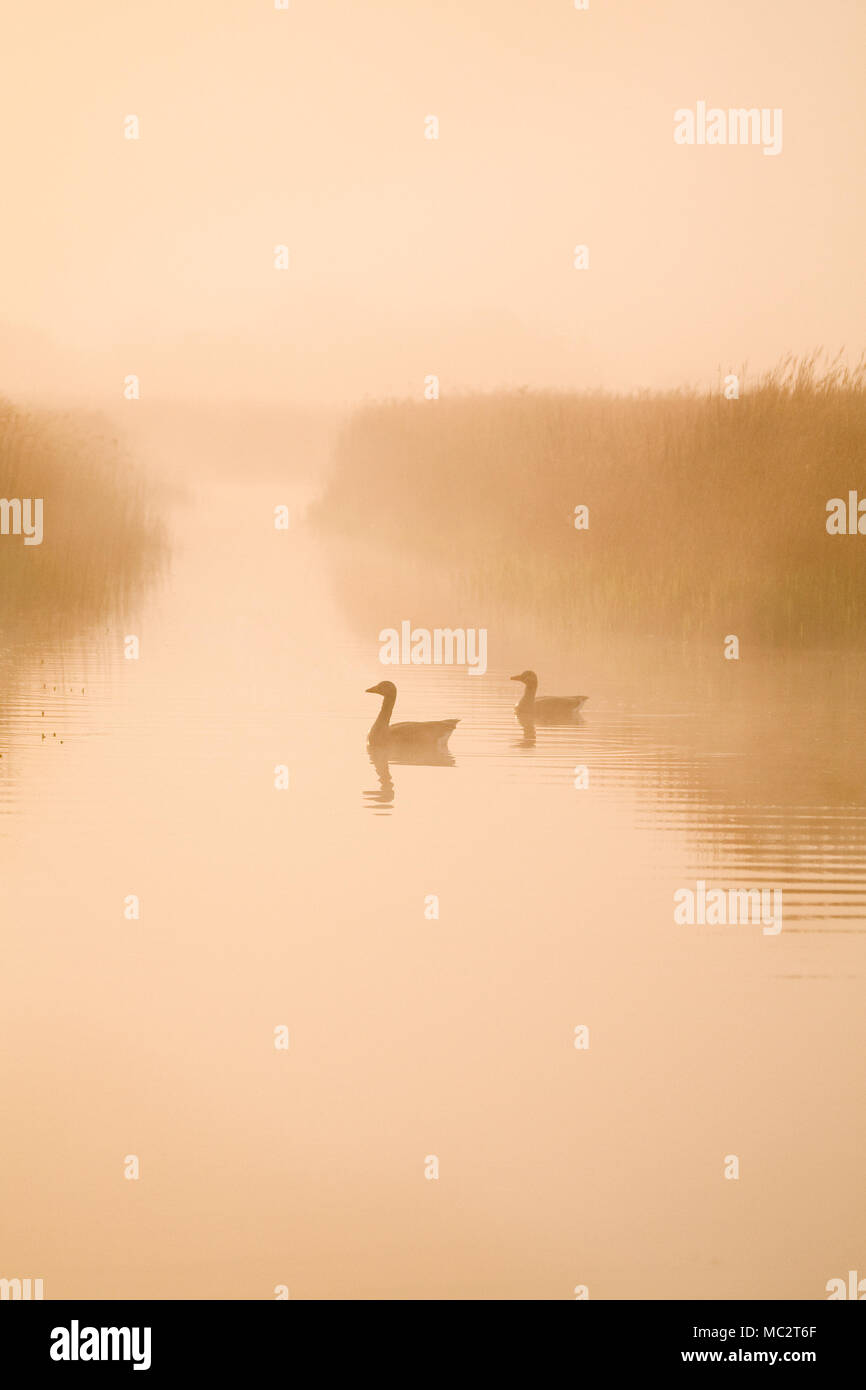 Greylag Geese on Hickling Broad in misty dawn - Stock Image