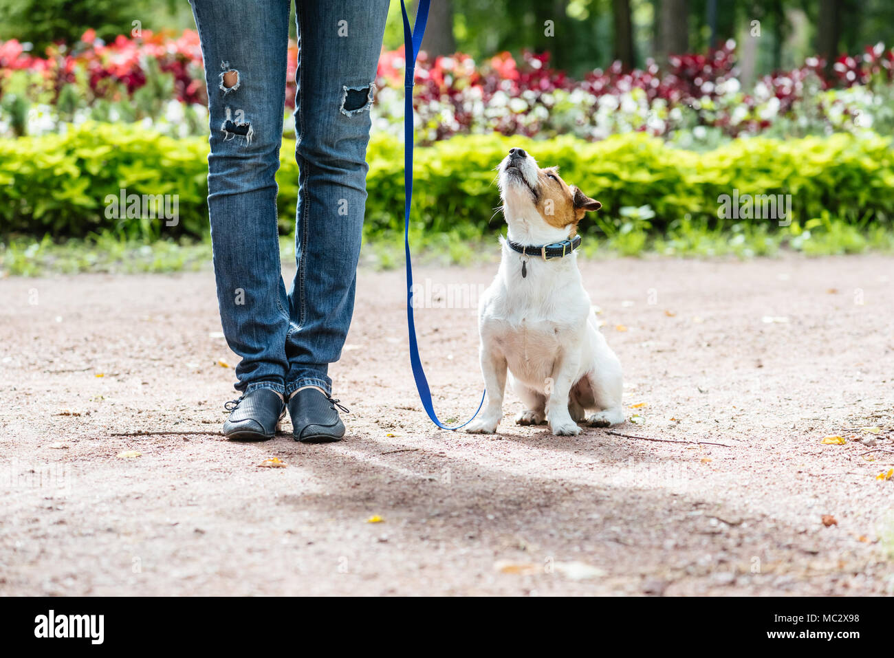 Good Citizen Dog Training: obedient dog training to walk on leash with owner - Stock Image