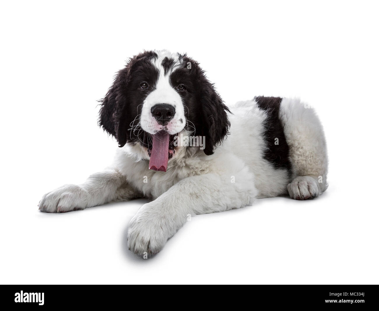 Adorable black and white Landseer puppy standing laying down and yawning isolated on white background while looking sleepy at camera - Stock Image