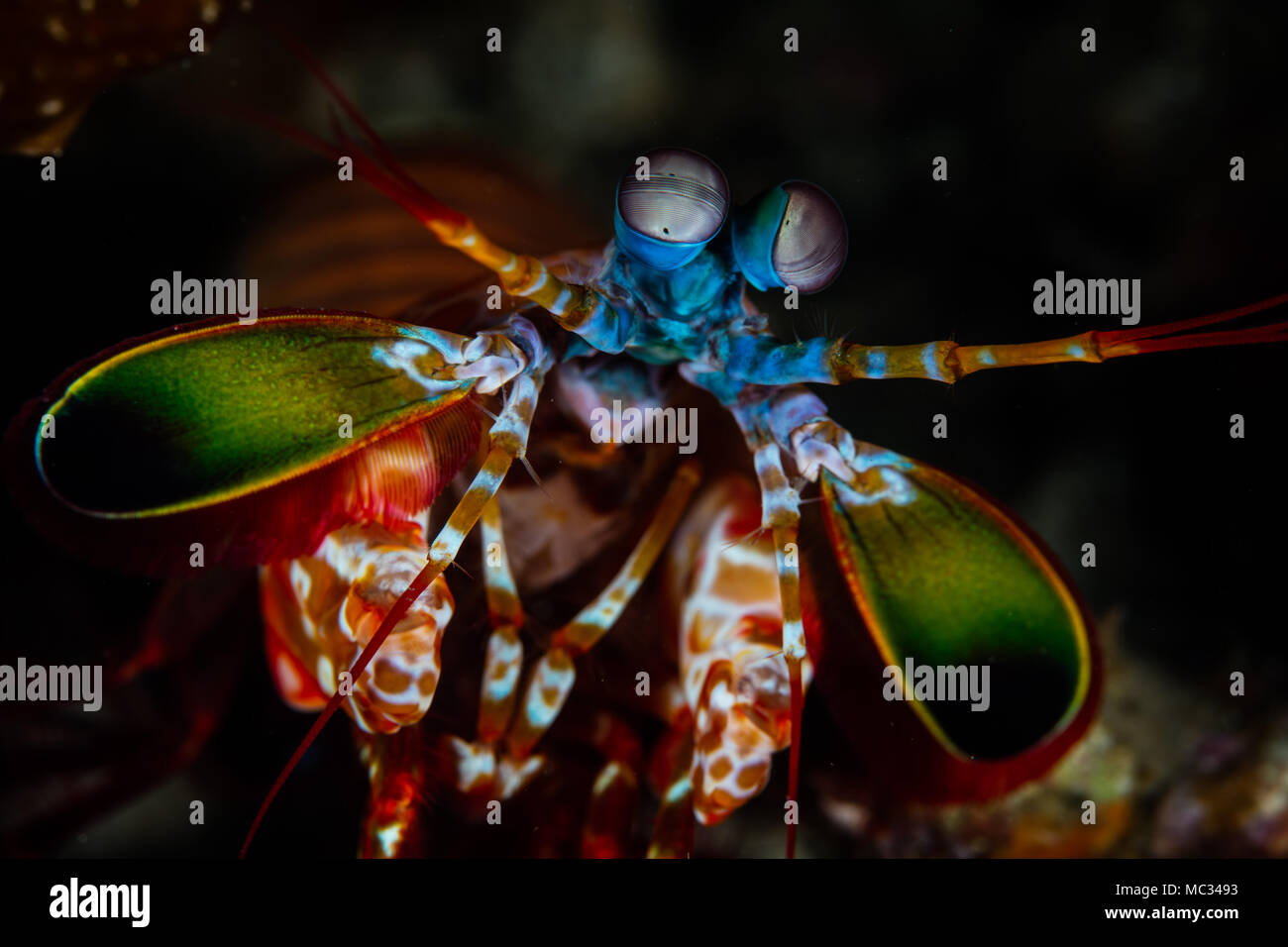 A vibrant Peacock mantis shrimp crawls across the seafloor in Lembeh Strait, Indonesia. This area is known for its bizarre critters. - Stock Image