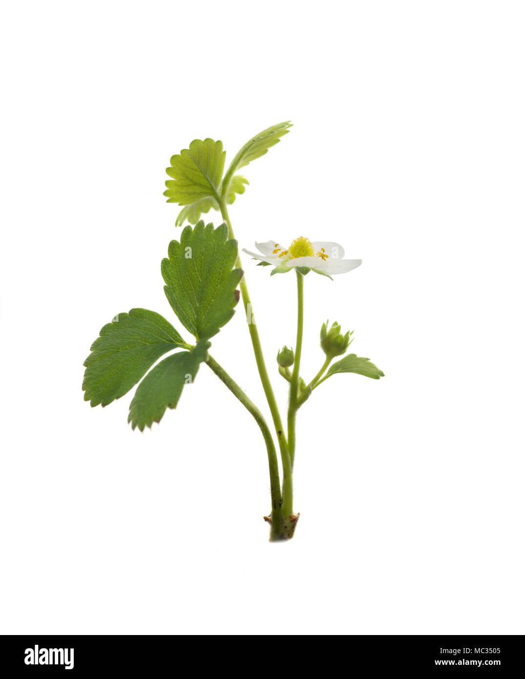 Strawberry plant isolated on white background - Stock Image
